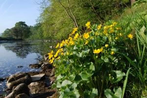 The River Wharfe marigolds